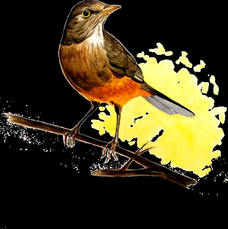 iIustração do sabiá-laranjeira. (in english: Orange trush illustration)